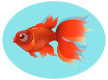 Carassius auratus. Goldfish, red fin and tail , gold squama on blue background Stock Photography