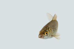 Carassius auratus. A shot from a live goldfish Royalty Free Stock Images