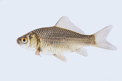 Carassius auratus. A shot from a live goldfish Stock Photography