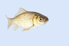 Carassius auratus. A shot from a live goldfish Royalty Free Stock Photography