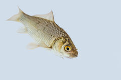 Carassius auratus. A shot from a live goldfish Royalty Free Stock Image