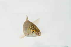 Carassius auratus. A shot from a live goldfish Royalty Free Stock Photo