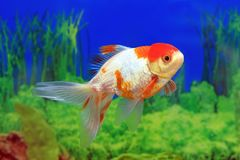 Aquarium fish red cap in profile royalty free stock photo