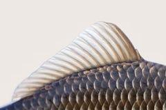 Carassiusfiskfena, hud graderar det texturerade fotoet Fjällig modell för makrosiktsCrucian karp Selektiv fokus, grunt djup arkivfoto