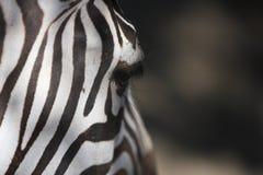Caratteristica della zebra fotografia stock libera da diritti