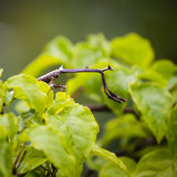 Carausius morosus or Indian and laboratory stick insect or walking Stick in island Bali, Indonesia Stock Images
