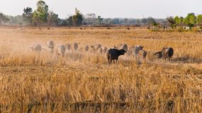 Caravan of buffaloes Royalty Free Stock Images