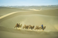 Caravan camel on Badan jaran desert at Inner Mongolia Royalty Free Stock Photography