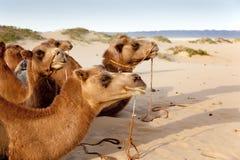 Caravan of camels Stock Photos
