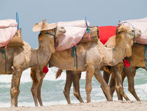 Caravan of camels Royalty Free Stock Photo