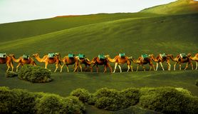 Caravan of camels is coming on stock photo
