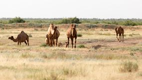 Caravan of camels in the desert.  Royalty Free Stock Images