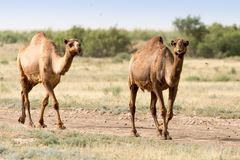 Caravan of camels in the desert.  Royalty Free Stock Photography