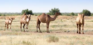 Caravan of camels in the desert.  Royalty Free Stock Photos