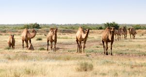 Caravan of camels in the desert.  Royalty Free Stock Photo