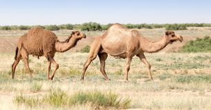 Caravan of camels in the desert. In the park in nature Royalty Free Stock Photography