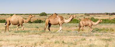 Caravan of camels in the desert. In the park in nature Stock Photos