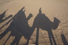 Caravan of camels in the desert early in morning royalty free stock image