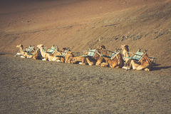 Caravan of camels in the desert on Lanzarote in the Canary Islan Stock Images