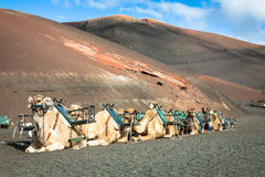 Caravan of camels in the desert on Lanzarote in the Canary Islan Stock Photos