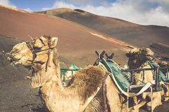 Caravan of camels in the desert on Lanzarote in the Canary Islan Royalty Free Stock Photos