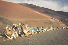 Caravan of camels in the desert on Lanzarote in the Canary Islan Royalty Free Stock Images