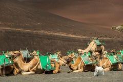 Caravan of camels in the desert on Lanzarote Stock Image