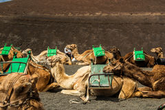 Caravan of camels in the desert on Lanzarote Royalty Free Stock Photography
