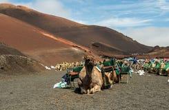 Caravan of camels in the desert on Lanzarote Royalty Free Stock Photos