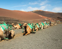 Caravan of camels in the desert on Lanzarote Royalty Free Stock Image