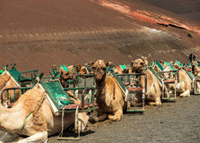 Caravan of camels in the desert on Lanzarote Royalty Free Stock Images