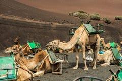 Caravan of camels in the desert on Lanzarote Stock Images