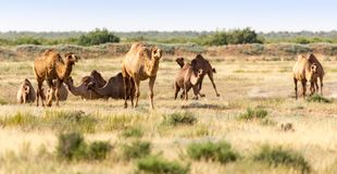 Caravan of camels in the desert. In the park in nature Stock Image