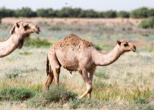 Caravan of camels in the desert. In the park in nature Stock Photo