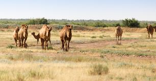 Caravan of camels in the desert. In the park in nature Royalty Free Stock Image