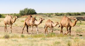 Caravan of camels in the desert. In the park in nature Royalty Free Stock Images