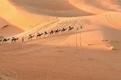 Caravan of Camels in Erg Chebbi Sand dunes near Merzouga, Morocco Stock Photos