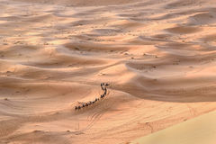 Caravan of Camels in Erg Chebbi Sand dunes near Merzouga, Morocco Royalty Free Stock Photo