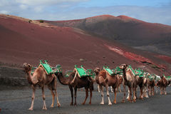 Caravan of camels, Lanzarote Stock Images