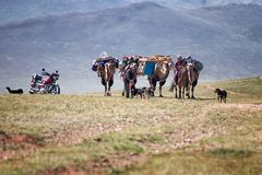 Caravan of camels in Mongolia Royalty Free Stock Photo