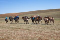 Caravan of camels in Mongolia Royalty Free Stock Photos