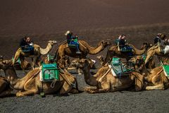 A caravan of camels of packs with riders. Lanzarote,Spain,March 7, 2016. A caravan of camels of packs with riders and a driver goes on a desert in the afternoon royalty free stock images