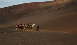 A caravan of camels of packs with riders. Lanzarote,Spain,March 7, 2016. A caravan of camels of packs with riders and a driver goes on a desert in the afternoon stock photos