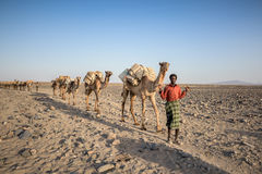 Caravan of camels with salt in Danakil depression desert Royalty Free Stock Photography