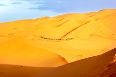 A caravan of camels among the sand dunes in the Sahara Desert. Africa. Morocco. Stock Image