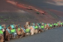 Caravan of camels in Lanzarote, tourist attraction. Caravan of camels waiting for tourists in the Timanfaya national park in Lanzarote, the Canary Islands. Spain royalty free stock photography
