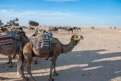 Caravan dei cammelli alla fermata Fotografia Stock Libera da Diritti