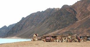 Caravan dei cammelli che va nel deserto del Sahara in Dahab stock footage