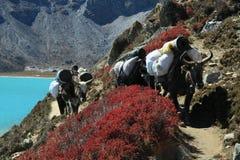 Caravan dei yak, Nepal fotografia stock