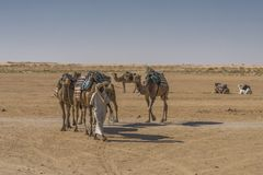 Caravan del cammello nel deserto di Sahara Fotografie Stock